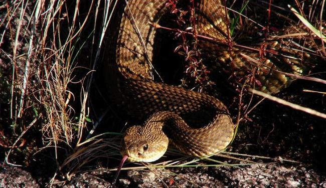 Cobra cascavél é uma das mais venenosas - Foto: Foto | Divulgação