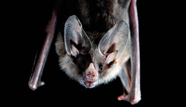 Os morcegos são animais silvestres protegidos por lei e importantes para o equilíbrio ecológico - Foto: Divulgação