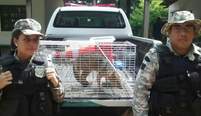 A raposa está na fase adulta e pesa cerca de 6 kg - Foto: Divulgação | Ascom-GCMS