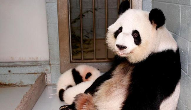 Os pandas estavam ameaçados desde 1990 - Foto: Schoenbrunn Zoo|Handout | Reuters
