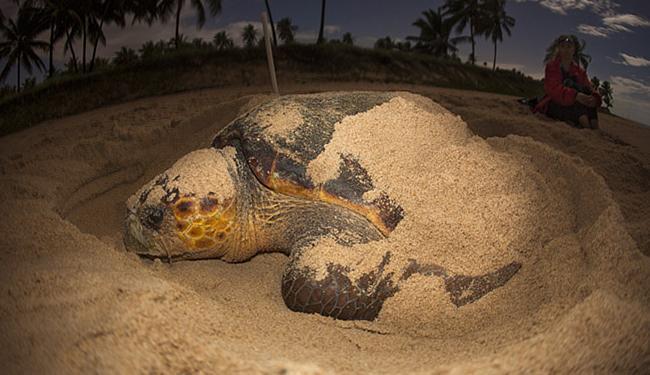 O Tamar trabalha com as 5 espécies de tartaruga que ocorrem no paísl, todas ameaçadas de extinção - Foto: Divulgação