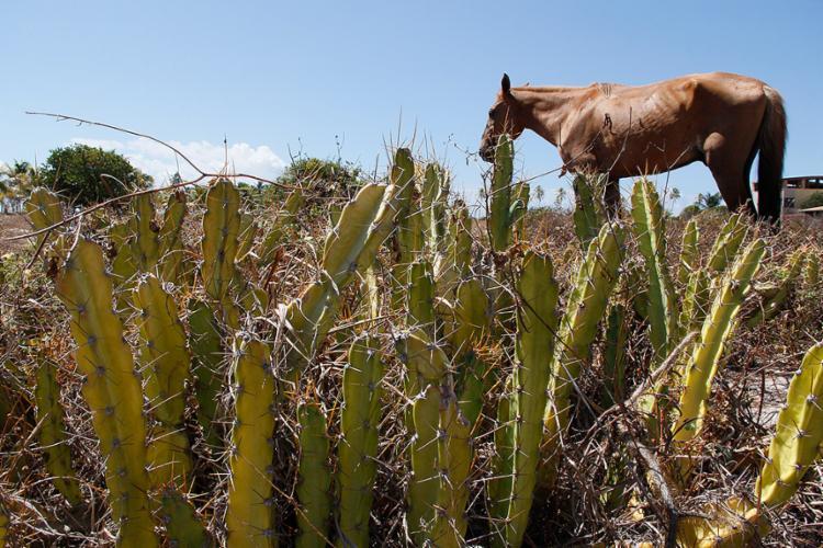 O cacto é uma das poucas plantas que resistem à estiagem que castiga o interior - Foto: Joá Souza l Ag. A TARDE