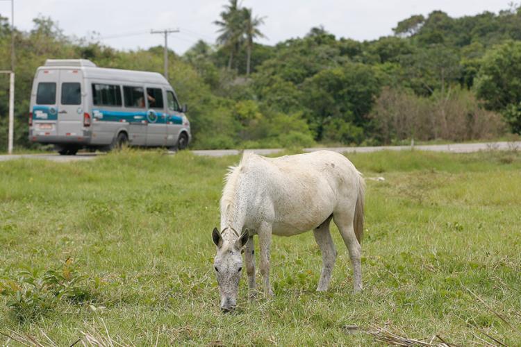 Equino na margem da BA-099, km-55, próximo à entrada de Praia do Forte - Foto: Xando Pereira l Ag. A TARDE