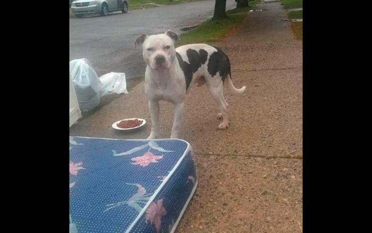 Vizinhos davam comida e água ao cachorro, mas ele se recusava a sair do lugar - Foto: pitbull, eua, boo