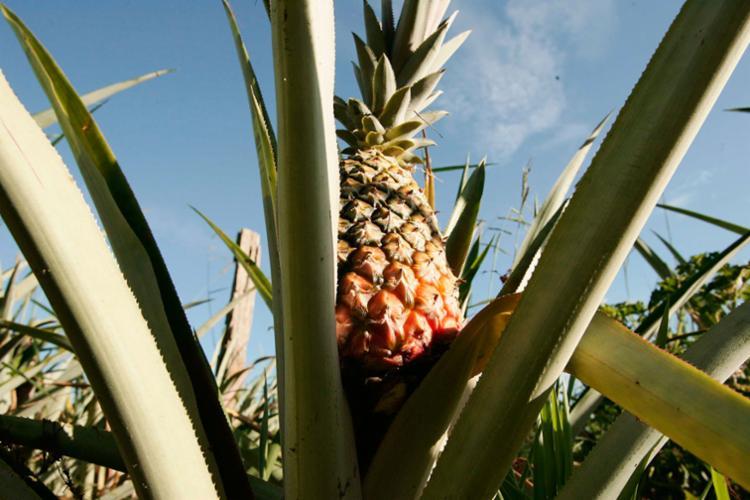 Amostrar de abacaxi registraram alto teor de intoxicação - Foto: Joá Souza | Ag. A TARDE