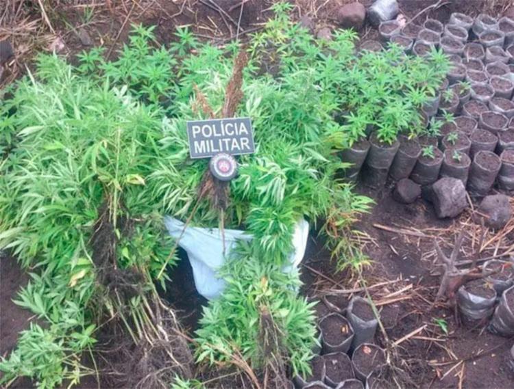 Pés de maconha foram achados durante diligência da PM - Foto: Divulgação | PM