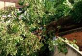 Árvore cai, atinge casas e mata idosa em Luís Anselmo | Foto: