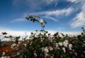 Sudoeste baiano amplia área plantada com algodão   Foto: