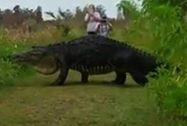 Vídeo de jacaré gigante viraliza na web