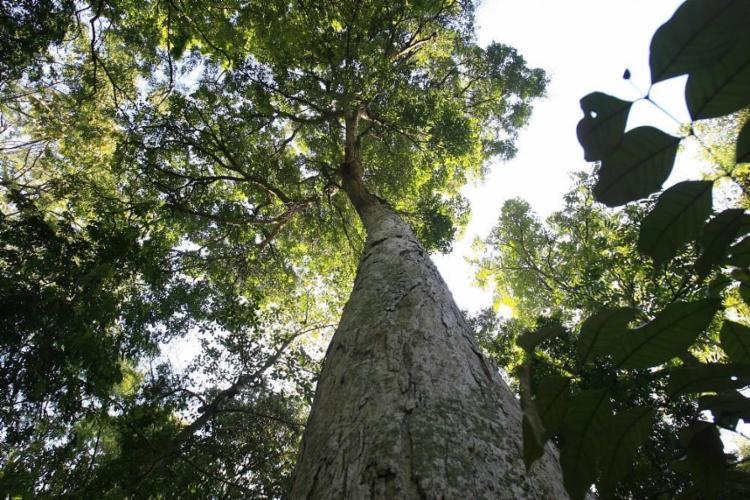 Oiti-da-baía, no Jardim Botânico de Salvador - Foto: Adilton Venegeroles | Ag. A TARDE