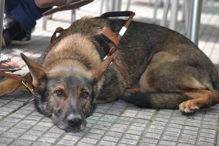 """Cães-guia: bem mais do que """"olhos"""" - Foto: Alezinha Roldan l Ag. A TARDE"""