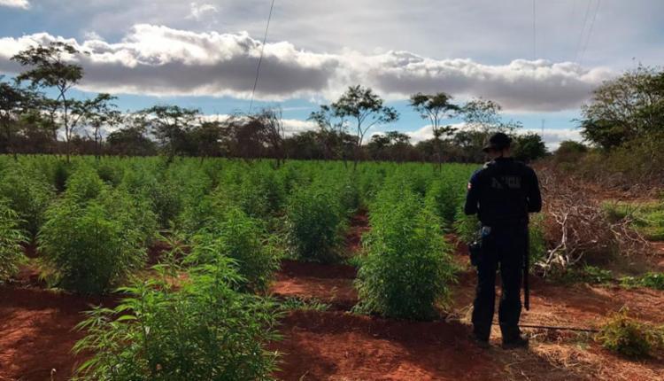 Roça tem capacidade para produzir 10 toneladas de maconha - Foto: Divulgação | SSP