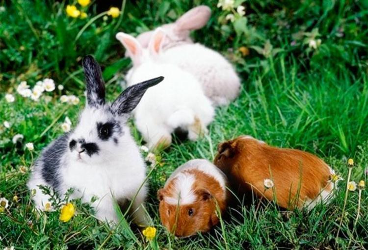 Interessados podem adotar coelhos, porquinhos da índia, hamsters e ratos domésticos - Foto: Reprodução