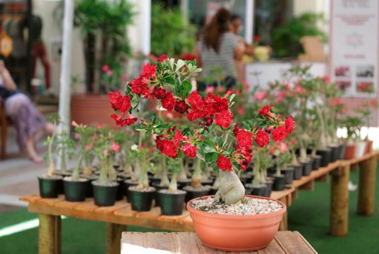 Rosas do deserto são cultivadas em Morro do Chapéu na Chapada Diamantina - Foto: Joá Souza | Ag. A TARDE