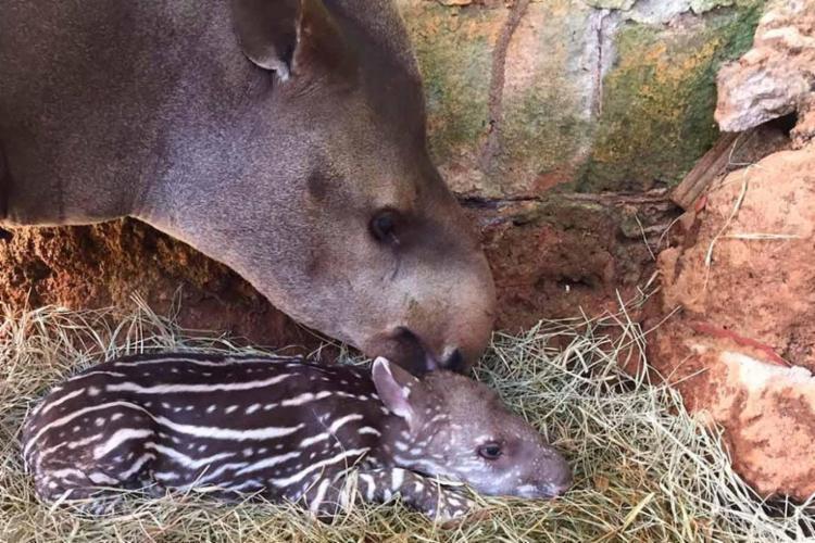 Anta tem uma semana de vida e é cuidada pela mãe - Foto: Reprodução