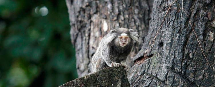 O macaco encontrado foi do gênero mico - Foto: Margarida Neide | Ag. A TARDE