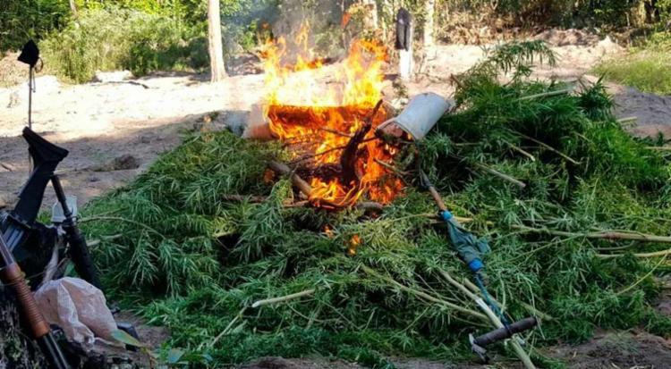 Plantas, que renderiam cerca de 1 tonelada da droga, foi incinerada pela polícia - Foto: Divulgação | Polícia Civil
