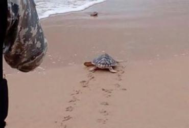 Filhote de tartaruga cabeçuda é solto na praia de Piatã