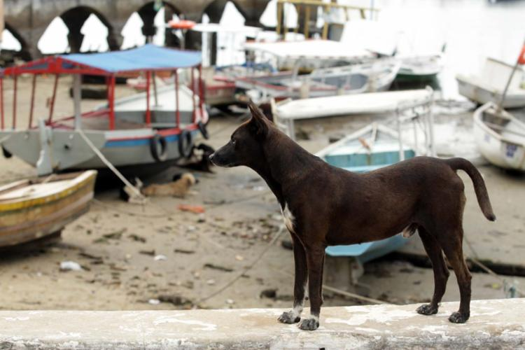 Animais se concentram na extensão da praia entre a Sorveteria da Ribeira e o final de linha de ônibus do bairro - Foto: Xando Pereira | Ag. A TARDE