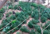 Operação da polícia erradica 35 mil pés de maconha em Abaré | Foto: