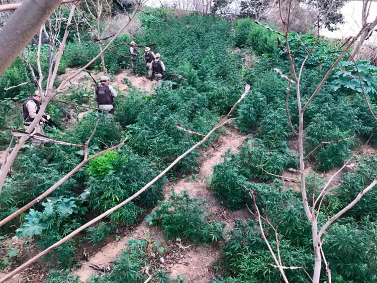 Policiais encontraram o equivalente a 10 km de plantações - Foto: Divulgação   SSP-BA