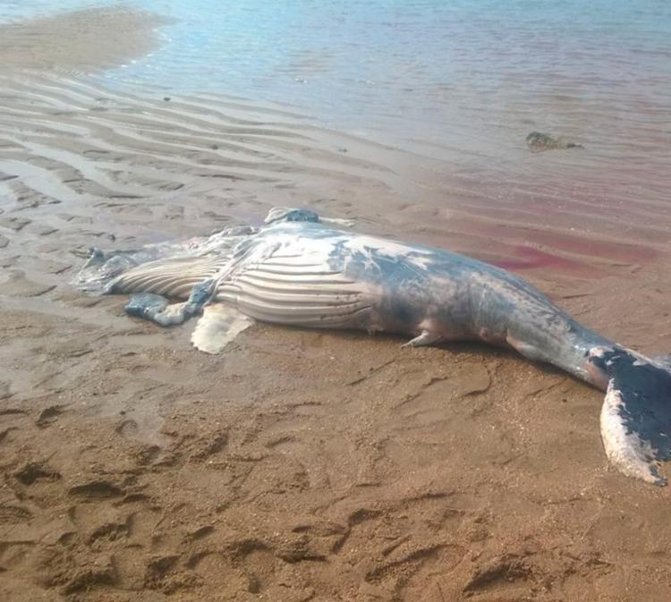 Este é o segundo animal da mesma espécie encontrado morto nas últimas 72h - Foto: Projeto Baleia Jubarte   Divulgação