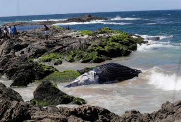 Bahia lidera ranking de encalhes de baleias