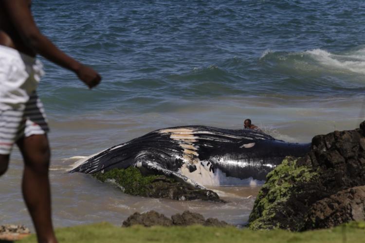 Homem nada ao lado da baleia morta na manhã desta sexta-feira - Foto: Xando Pereira | Ag. A TARDE
