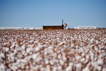 Programa de combate a pragas do algodão recebe investimentos
