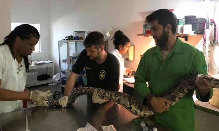 Jiboia foi atendida por veterinários do Ambulatório de Animais Silvestres e Exóticos - Foto: Gustavo Rodamilans | AASE