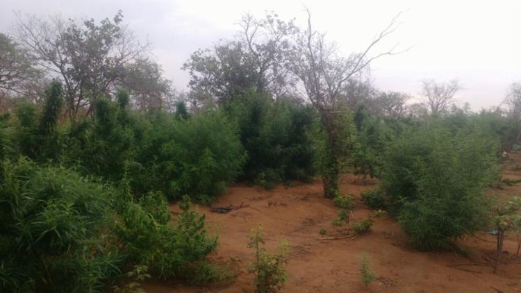 A droga foi encontrada em uma fazenda na zona rural - Foto: Divulgação | SSP