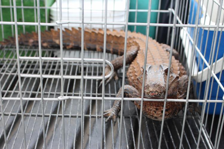 Apesar de pequeno, animal é considerado perigoso - Foto: Divulgação   Secom