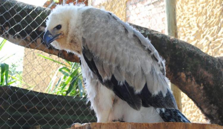 Ave foi encubada naturalmente no ninho pelos pais e só retirada após três dias de vida - Foto: Divulgação