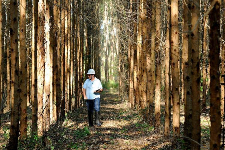 Estado possui 730,5 mil hectares de florestas (nativas e produtivas) certificadas voluntariamente pelas empresas - Foto: Abaf | Divulgação