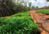 Homem é preso suspeito de cultivar mais de 3 mil pés de maconha em Juazeiro | Foto: Divulgação | SSP-BA