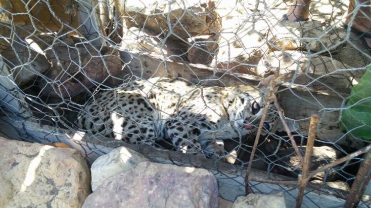 O felino foi levado para o Centro de Triagem de Animais Silvestres, em Vitória da Conquista - Foto: Divulgação | Polícia Militar