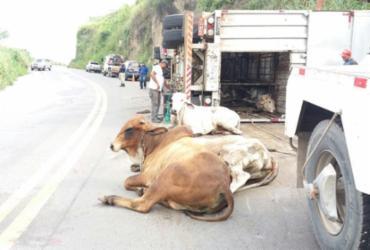 Caminhão com 64 bois tomba na BR-101; cinco animais morreram   Divulgação   PRF