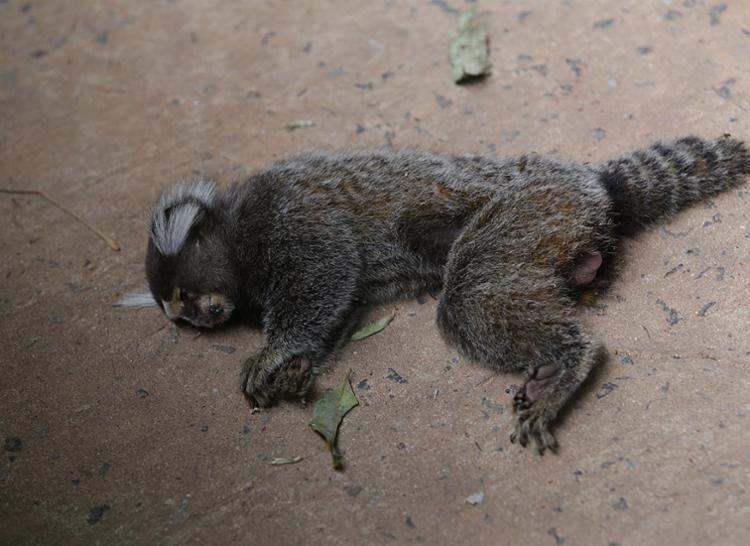 Mortes de macacos em cidades baianas ainda preocupam - Foto: Xando Pereira l Ag. A TARDE l 18.4.2017