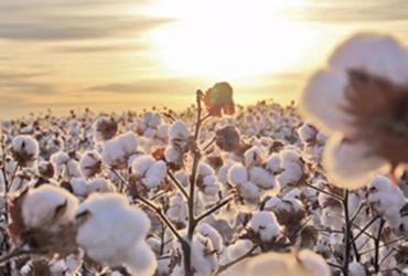 Agricultores de algodão do Oeste baiano estão na expectativa de colher a melhor safra dos últimos sete anos