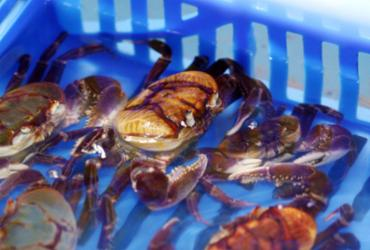 Mangues de Santo Amaro recebem um milhão de filhotes de caranguejo