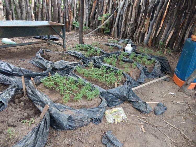 Homens foram localizados na plantação de maconha - Foto: Divulgação | SSP