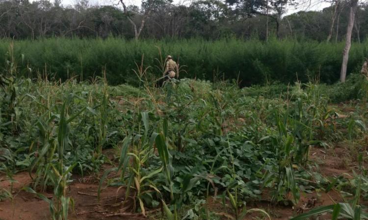 Parte da plantação foi recolhida e o restante foi incinerada, segundo a SSP-BA - Foto: Divulgação | SSP-BA