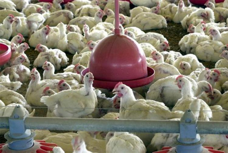 A Associação Brasileira de Proteína Animal (ABPA) destaca que o setor gera 4,1 milhões de empregos diretos e indireto no País - Foto: Agência Brasil l Arquivo