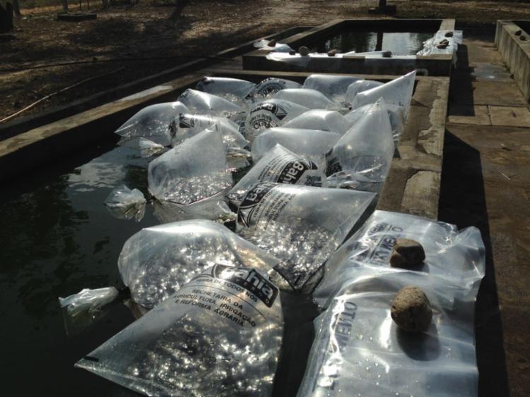 Produtores rurais de Gongogi e de Nova Ibiá serão beneficiados com 160 mil alevinos de tambaquis e tambacus - Foto: Divulgação