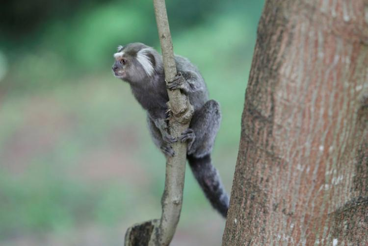 Em 2017, foram capturados 238 macacos com suspeita de febre amarela - Foto: Adilton Venegeroles   Ag. A TARDE   18/04/2017