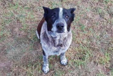 Cão surdo e parcialmente cego ajuda a resgatar criança desaparecida | Reprodução | Twitter