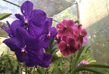 Orquídeas são uma opção de presente para o Dia das Mães