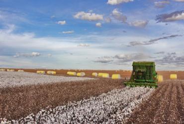 Bahia deverá colher safra de algodão de 481 mil toneladas