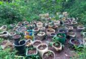 Polícia localiza plantação de maconha no Vale do Capão | Foto: Divulgação | SSP-BA