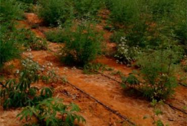 Plantação de maconha avaliada em R$ 150 mil é localizada em Canarana | Divulgação | SSP